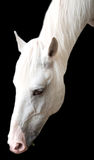 White horse. Portrait of the white horse is isolated on a black background Stock Photo