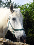White Horse. A nice white horse in Camargue - France Stock Photo