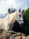 White Horse. A nice white horse in Camargue - France Stock Photography
