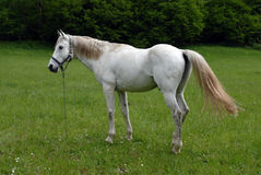 White horse. Beautiful white horse at fresh grass field royalty free stock photos