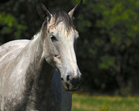 White horse. Portrait of a white horse Stock Images
