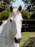 2 white horse zdjęcia stock