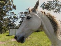 3 white horse Obraz Royalty Free