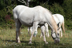 White horse. On the pasture Royalty Free Stock Images