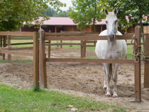 Free White Horse Royalty Free Stock Image - 67616396