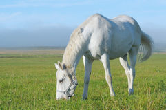 White horse. Pastures in field Stock Photos