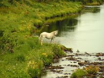 White Horse. A white horse on the banks of a river Stock Images