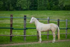 White horse, Akhal Teke, standing in a paddock. Calm young aristocratic white stallion of Akhal Teke horse breed from Turkmenistan, standing in a paddock, wooden stock image