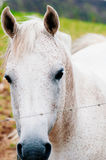 White horse alone in a field Stock Photography