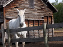 White Horse Alongside Wooden Fence Stock Photo
