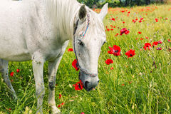 White horse amongst the poppies Royalty Free Stock Images