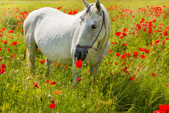 White horse amongst the poppies Stock Photography