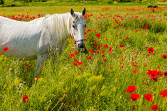 White horse amongst the poppies Royalty Free Stock Photography