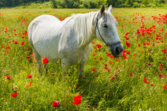 White horse amongst the poppies Royalty Free Stock Image