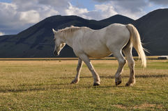 White horse in the Apennines landscapes Stock Photos