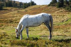 White horse in aplles grazing in meadow. Farm animal concept. Horse eating grass in hills. Horse on pasture. stock photos