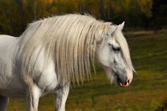 White horse in autumn. White shire horse in autumn Royalty Free Stock Photos