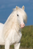 White horse in autumn. White horse stallion and storm clouds Royalty Free Stock Photos
