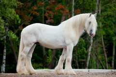 White horse in autumn Royalty Free Stock Photo