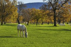 White horse in front of autumn fields Royalty Free Stock Image