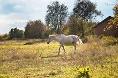 White horse on a autumn pasture Stock Photos