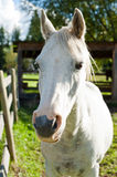 White horse in the autumn sun. Side lit stock photography