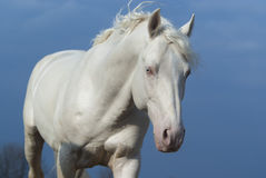 White horse on the background of blue sky Royalty Free Stock Images