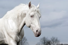 White horse on a background of gray sky Stock Photo