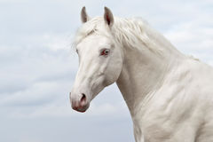 White horse on a background of  sky Royalty Free Stock Photography
