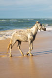 White horse on beach in Senegal Royalty Free Stock Photos