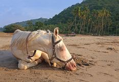 White horse on the beach. A white horse sleeping on the beach in India Stock Photos