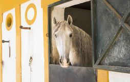 A white horse Stock Image
