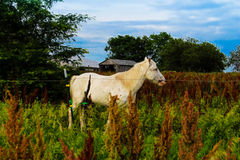 The white horse. Is so beautiful as it stands in the field Royalty Free Stock Images