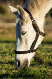 White Horse Stock Photos