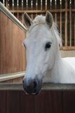 White Horse. Stock Photo