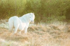 White horse - beautiful white stallion running on a meadow at dawn. Farm animals stock image