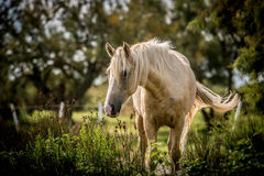 White Horse. Beautiful white horse swishing his tail stock photo