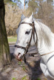 White horse. Stock Image