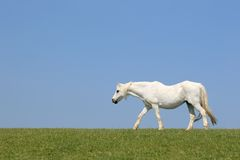 White Horse Beauty Stock Images
