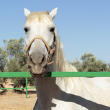 White horse behind a fence looks at camera Royalty Free Stock Photo