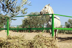 White horse behind a green fence Stock Photo