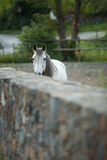White horse behind a wall. Sad horse Stock Images