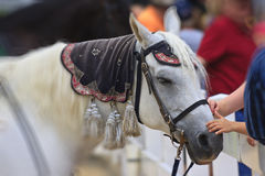 White Horse Being Petted Royalty Free Stock Photo