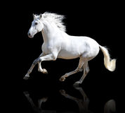 White horse  on the black Stock Images