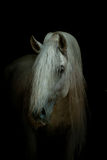 White horse on black. Andalusian horse on a black Royalty Free Stock Image