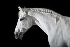 White horse on black background Stock Photos
