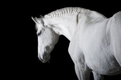 White horse on black background. White horse on the black background Stock Photo