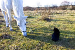 White Horse and Black Cat in Pasture Royalty Free Stock Photos