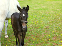 The white horse with  black colt. Royalty Free Stock Photo
