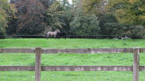 Horses Necking on a field of grass. A white horse and a black horse necking. Animals, Love, Romance, Ponies Royalty Free Stock Photography